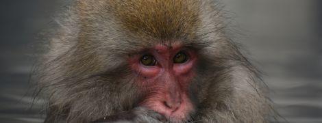 В Індії мавпа викрала аналізи на коронавірус та пожувала їх