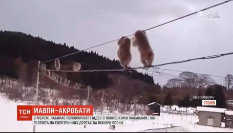 Гуляют по проводам: в Японии обезьяны придумали необычную забаву