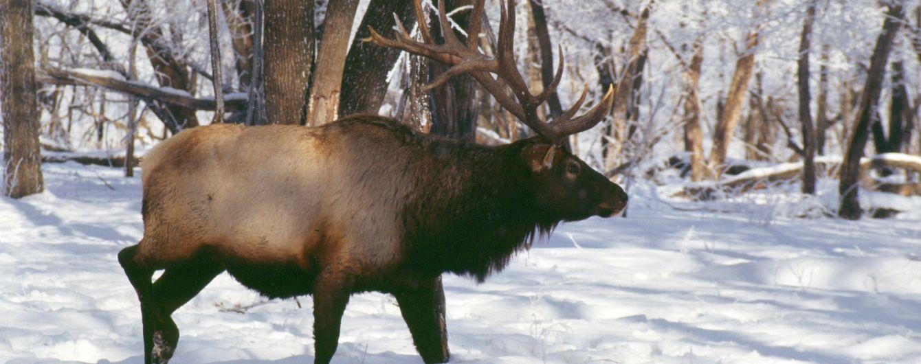 На Черниговщине браконьеры жестоко убили лося: полиция их задержала, но отпустила