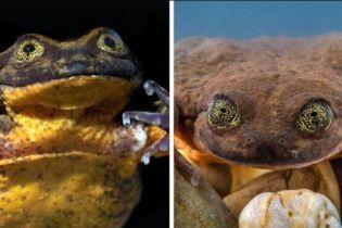 """Ромео і Джульєтта: """"найсамотніша"""" жаба у світі піде на побачення вперше за 10 років"""