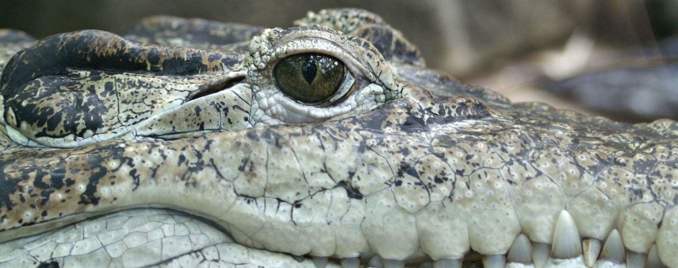 У США зняли, як крокодил зненацька з'явився на пляжі та розігнав натовп нажаханих відпочивальників