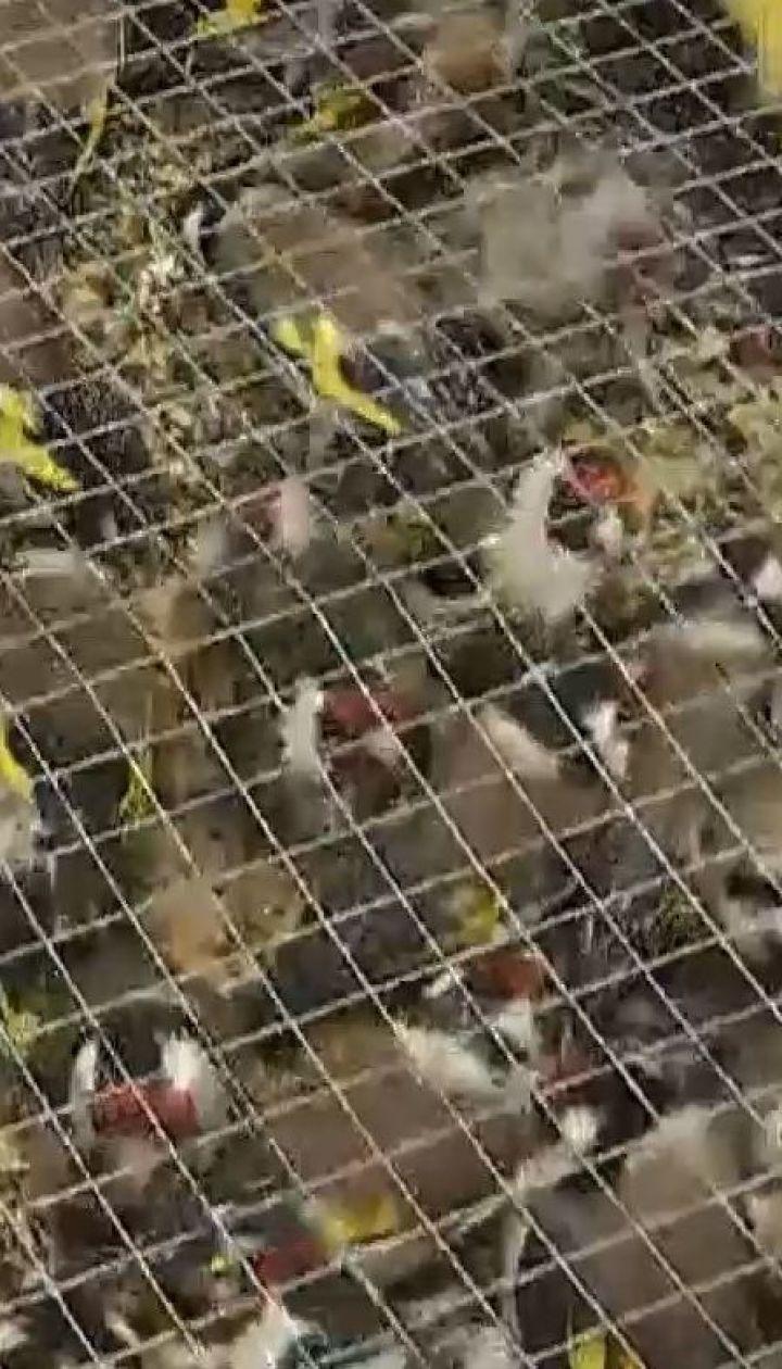 """Півтори тисячі щигликів застрягли на митниці у """"Борисполі"""""""