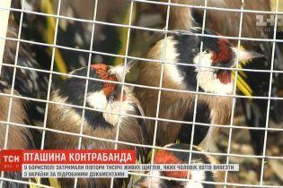 От неволи и истощения погибла треть щеглов, которые застряли на таможне в Борисполе