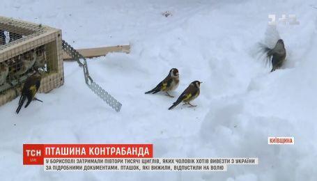 Конфискованных в Борисполе щеглов отпустили на свободу
