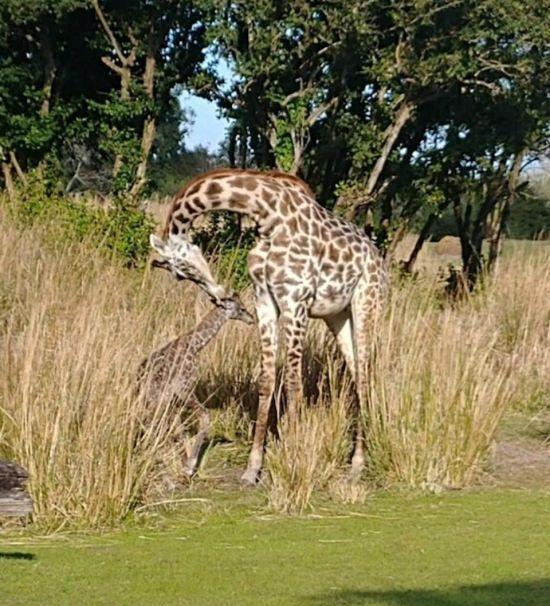 В американському сафарі-парку зафільмували народження жирафеняти