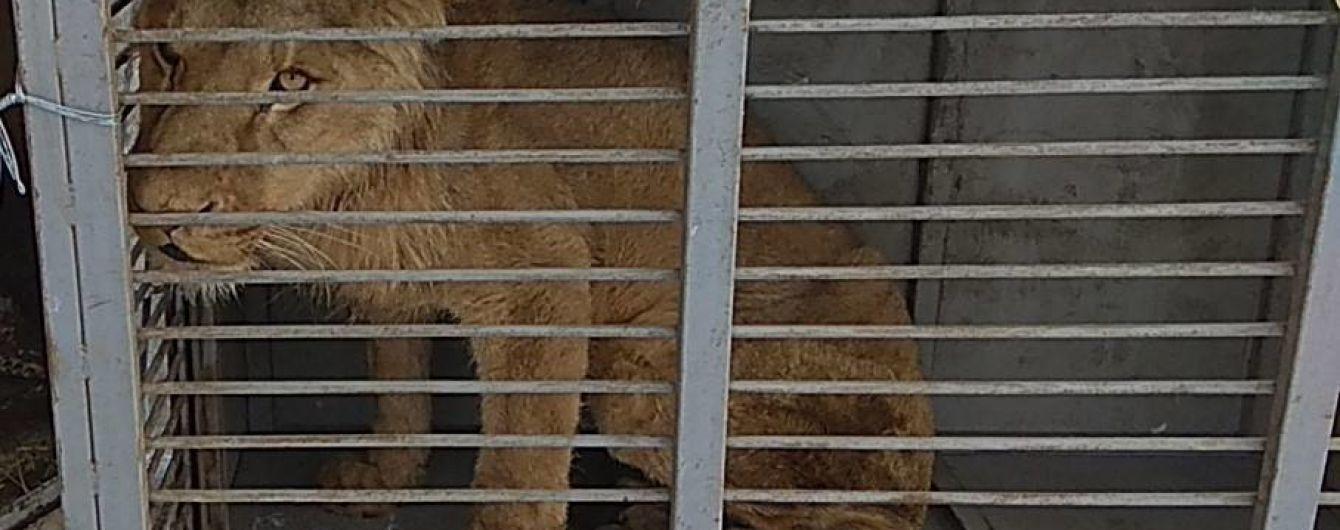 Зоозахисники повідомили про смерть лева, якого забрали зі скандального звіринцю на Донеччині