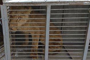 Зоозащитники сообщили о смерти льва, которого забрали из скандального зверинца на Донетчине