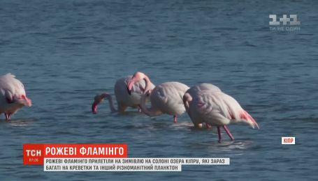 На зимівлю на Кіпр прилетіли майже 5 тисяч фламінго