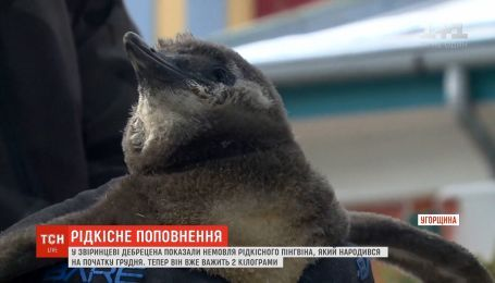 В угорському зоопарку вперше показали немовля рідкісного пінгвіна