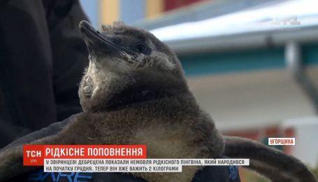 В венгерском зоопарке впервые показали младенца редкого пингвина