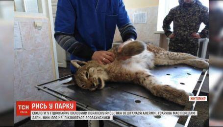 В Житомире экологи выловили раненую рысь