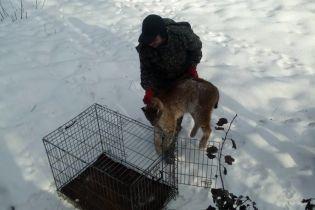В Житомире возле медицинского центра нашли раненую краснокнижную рысь