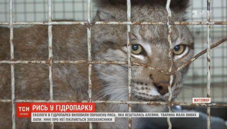 В Житомире нашли раненую краснокнижную рысь