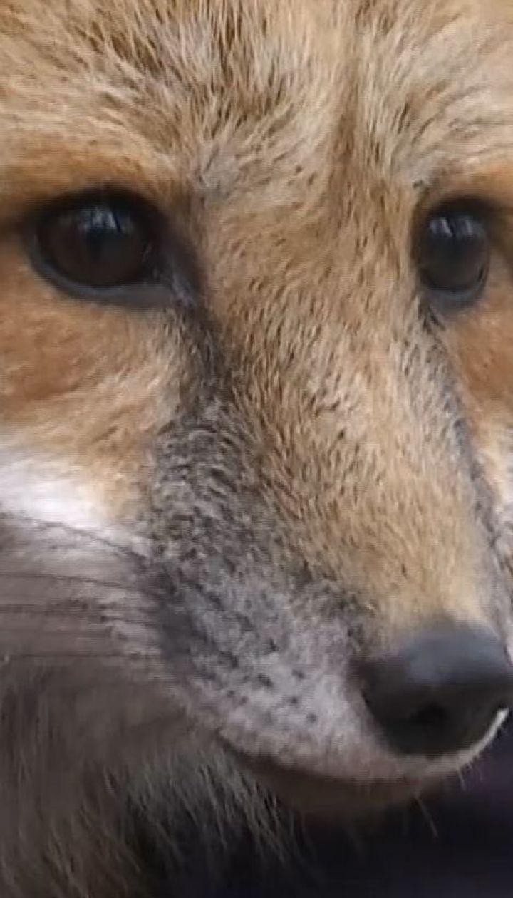 У Ірпені шукають руду лисичку, яка втекла з дому