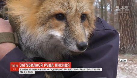 В Ирпене ищут рыжую лисичку, которая сбежала из дома