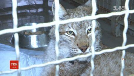 Найденную в Житомире рысь планируют перевезти в Ровенский зоопарк