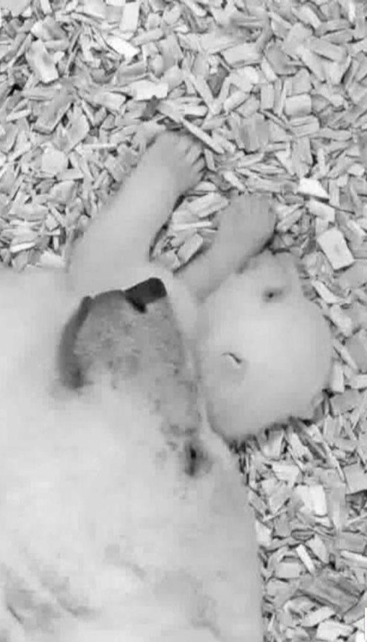 Работники берлинского зоопарка показали первые шаги детеныша полярного медведя