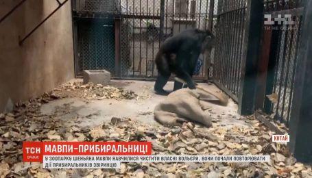 В китайском зоопарке шимпанзе научились чистить собственные вольеры