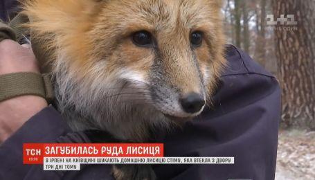 В Ирпене разыскивают лису Стиму, которая сбежала из дома трое суток назад