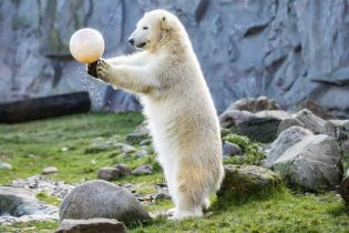 Маленький полярный медведь сделал первые шаги в берлинском зоопарке