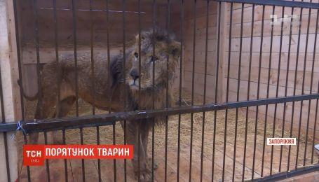 В Запорожской области пытаются спасти львов и медведей, которых предыдущий владелец довел до истощения