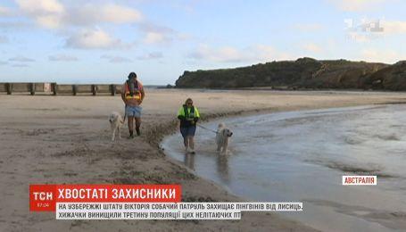 На побережье австралийского штата Виктория собачий патруль защищает пингвинов от лис