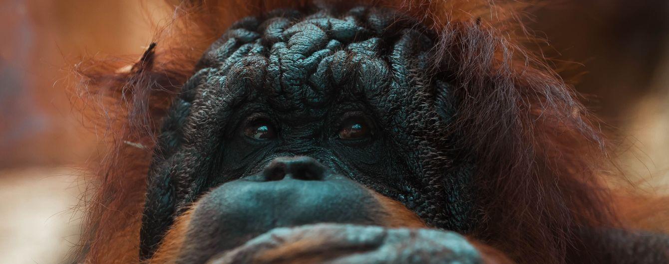 У США орангутан відкусив палець волонтерці, яка його годувала