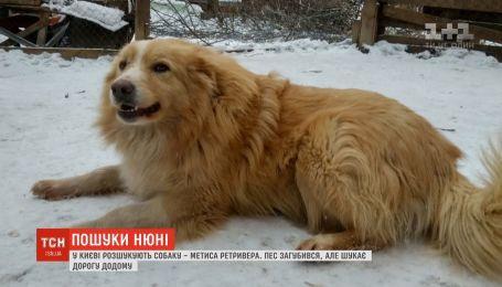 В Киеве разыскивают метиса ретривера Нюню