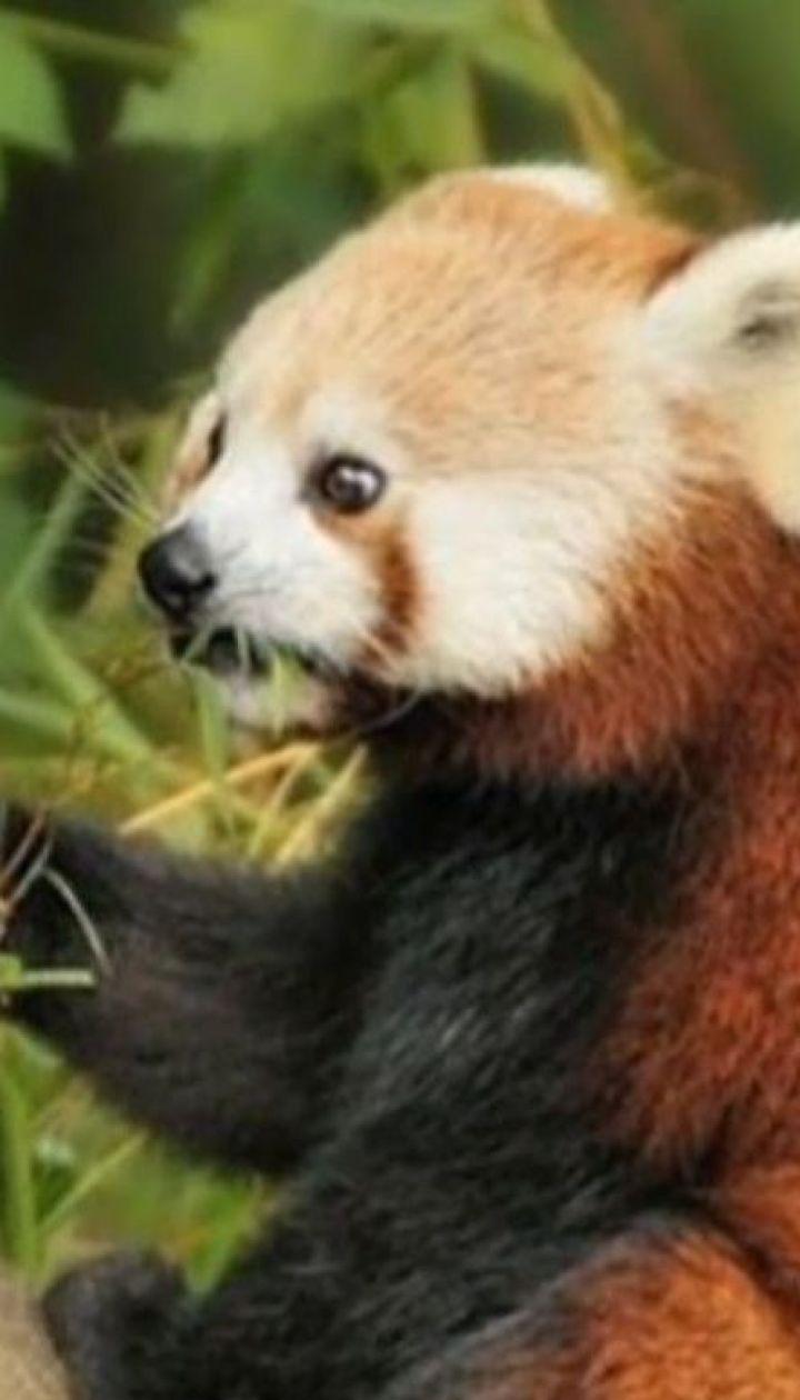 Руда панда наполохала своєю несподіваною втечею зоопарк Белфаста