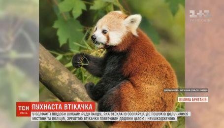 Рыжая панда напугала своим неожиданным бегством зоопарк Белфаста
