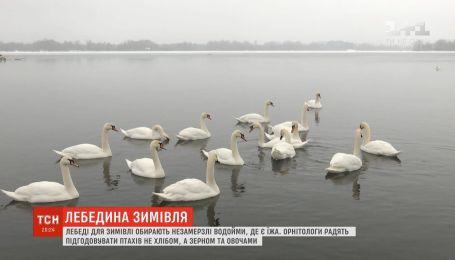 Три десятка лебедей поселились на Днепре в десяти километрах от столицы