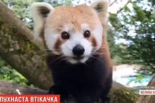 В Северной Ирландии редкая рыжая панда сбежала из зоопарка и переполошила целый город