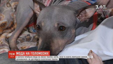Голые против пушистых: в Украину пришла мода на лысых животных