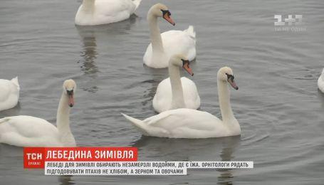 Три десятка птиц поселились на Днепре в десяти километрах от столицы