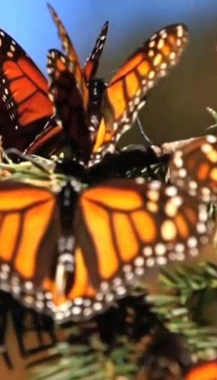 Мексиканські вчені радіють зростанню популяції метеликів-мігрантів