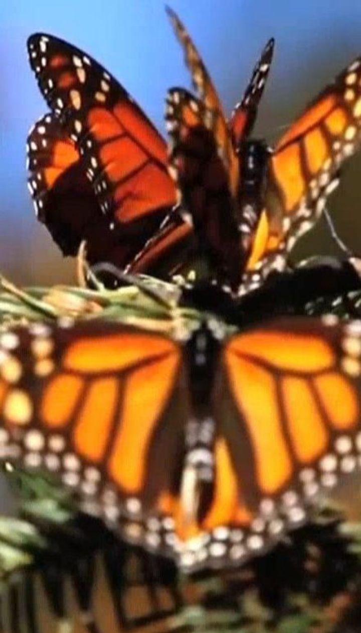 Мексиканские ученые радуются росту популяции бабочек-мигрантов