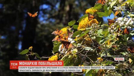 В Мексике значительно возросла популяция бабочек-монархов