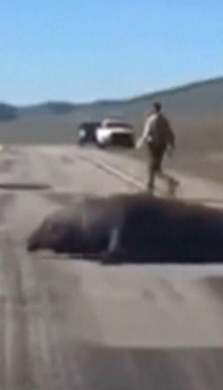 Полиция Калифорнии провела спецоперацию по спасению морского слона, который разгуливал по трассе