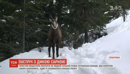 Туристам у горах Словаччини пощастило побачити дику сарну