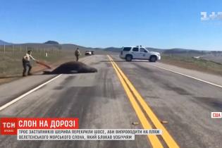 Морской слон заблокировал автостраду в Калифорнии