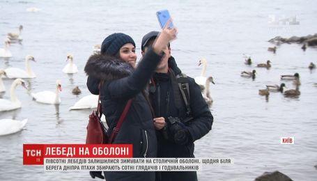 Более полусотни лебедей выбрали для зимовки берега Днепра на столичной Оболони