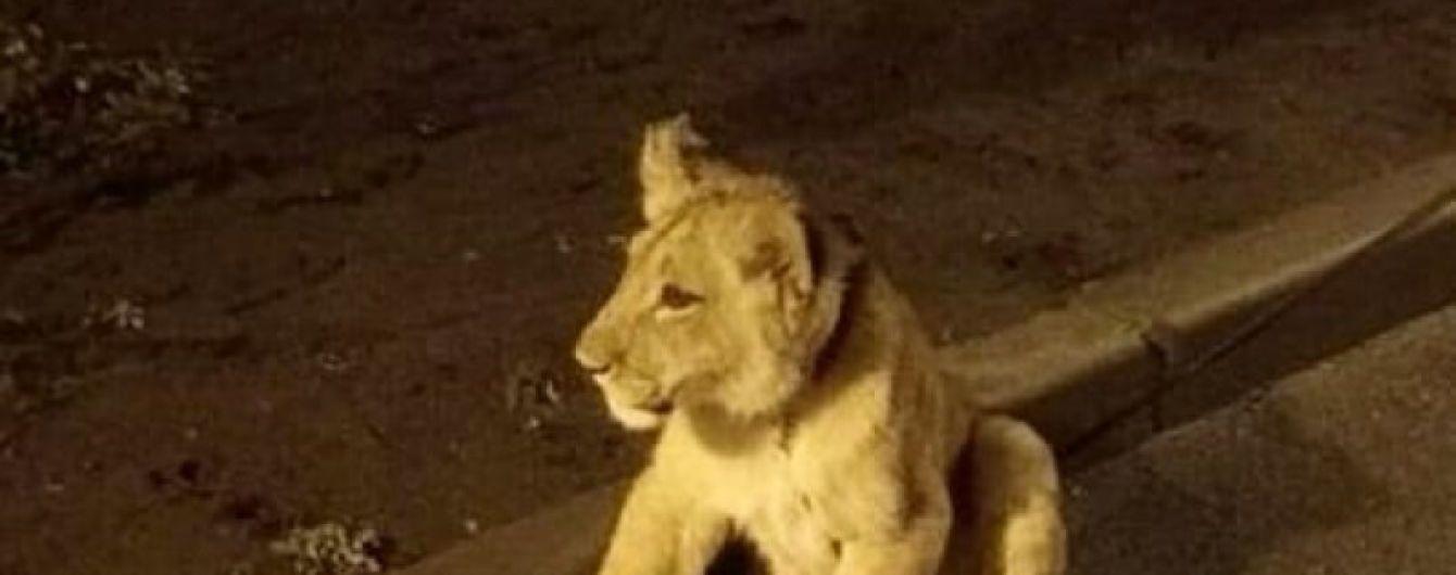 В Одессе снова заметили львенка на Французском бульваре