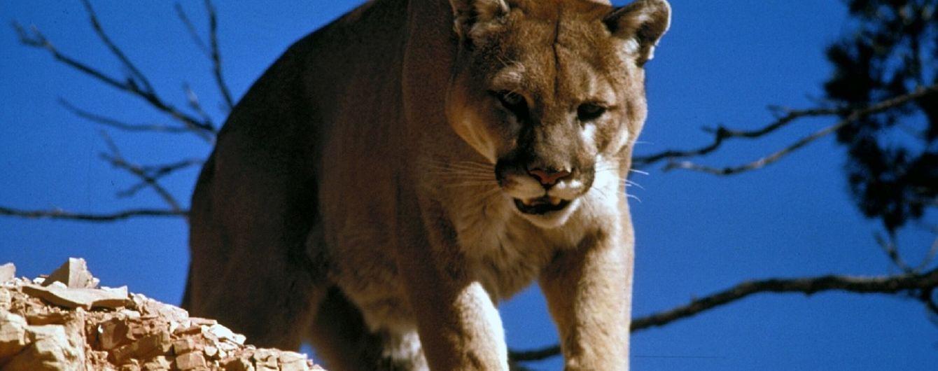 В США мужчина задушил льва, который напал на него во время пробежки