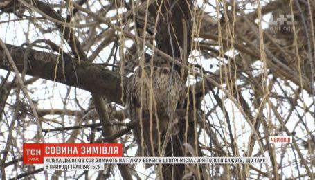 Несколько десятков сов зимуют на высокой иве в центре Черновцов