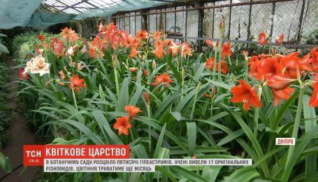 В Днепре расцвело полтысячи гипеаструмов