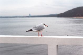Врятована 80-річним британцем чайка щодня прилітає до свого героя 12 років поспіль