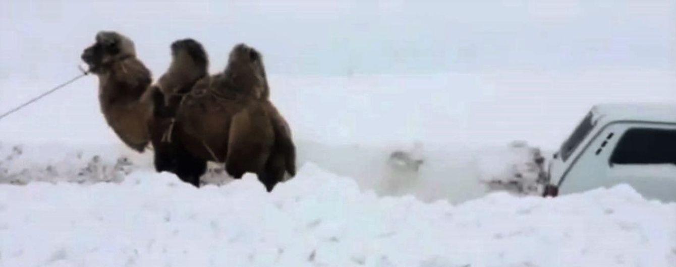В России сняли, как верблюд вытягивает застрявший в снегу внедорожник