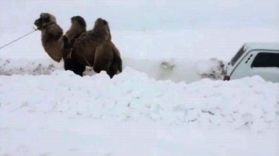 У Росії зафільмували, як верблюд витягує застряглий у снігу позашляховик