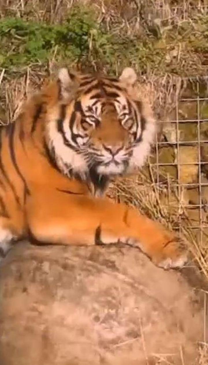 У Лондонському зоопарку під час першого побачення тигр загриз тигрицю