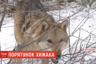 Волк в собачьей будке. На Черниговщине дикое животное посадили на цепь в усадьбе